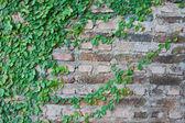 Grön ranka växtodling på en tegelvägg — Stockfoto