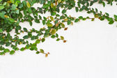 Green Creeper Plant on the white wall — Stock Photo