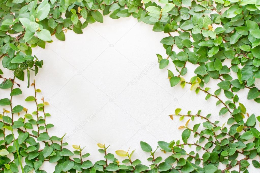 gr ne kletterpflanze pflanze auf wei e wand anordnen als rondell stockfoto 36152057. Black Bedroom Furniture Sets. Home Design Ideas