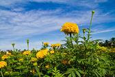 Marigold flower — Stock Photo