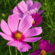 Stock Photo: Cosmos flower with bee