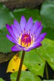 Purple waterlily — Foto de Stock