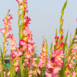 Gladiolflowers — Stock Photo #37409969