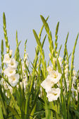 Gladiola flowers — Stock Photo