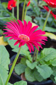 Pink gerbera — Stock Photo