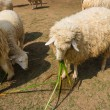 Stock Photo: Sheep eating grass in the farm