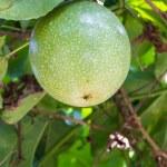 Passiflora foetida fruit — Stock Photo #38125111