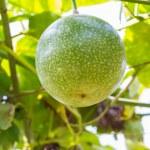 Passiflora foetida fruit — Stock Photo #38125117