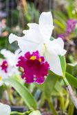 Cattleya orchid — Stock Photo