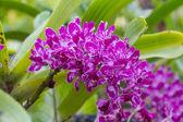 Orchid Rhynchostylis flowers — Zdjęcie stockowe
