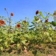 Photo: Red sunflower farm