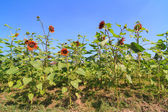 Red sunflower farm — Stock Photo