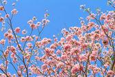 Pink trumpet tree or Rosy trumpet flower on tree — Foto de Stock