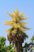 Palm flower on top of the tree — Stock Photo