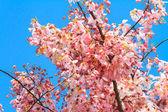 Wishing tree, pink shower or cassia bakeriana craib flower — Stock Photo