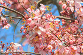 Wishing tree, pink shower or cassia bakeriana craib flower — Stock Photo