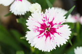 Indian pink or China pink flower — Stock Photo
