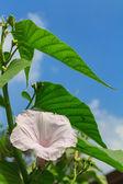 Morning Glory Tree or Ipomoea carnea flowers — Stock Photo