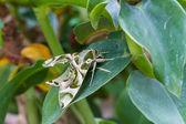 Oleander Hawk-moth or army green moth — Stock Photo