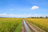 Irrigation canal in rice field — Stock Photo