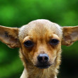 Chihuahua dog — Stock Photo #31528299