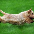 Flying dog — Foto Stock