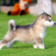 Husky puppet on the grass — Stock Photo