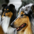 Groupe of collies — Stock Photo