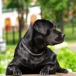 Stock Photo: Black Labrador