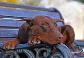 Photo of Doberman dog laying on the bench — Stok fotoğraf