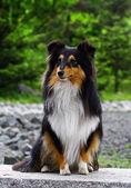 Black collie puppy — Stock Photo