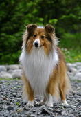 Filhote de collie — Foto Stock