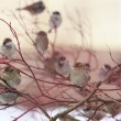 A flock of sparrows on a red branch — Stock Photo