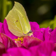 Beautiful yellow butterfly on pink petals of a zinnia flower — Stock Photo #31265699