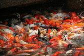 Koi carp swarming in the garden pond, china — Stock Photo