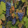 Growing wine grapes hanging from the stem, surrounded by colourful, beautiful leaves — Stock Photo