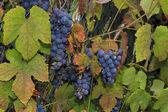 Culture du raisin vin pendu à la potence, entouré de feuilles colorées, belles — Photo