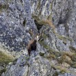 Chamois - mountain goat - looking down from a rock. — Stock Photo #33925585
