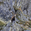 Chamois - mountain goat - looking down from a rock. — Stock Photo