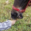 Child's hand gives grass to hors's snout — Stock Photo