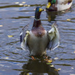 Male Ducks Stands on its Legs nad Flaps its Wings — Stock Photo #34501221