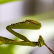 Stock Photo: Green mantis waiting for pray