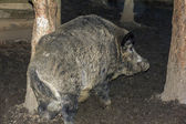 Wild boar rubbing its back against a tree — Stockfoto
