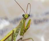 Macro green praying mantis bites its antennae — Stock Photo