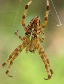 Spider of areneus diadematus species, seen from the top — Stock Photo