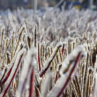 Close-up photo of red twigs of frozen hedge in winter — Stock Photo #39936999