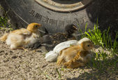 Group of four chicken of different colors rest in the shade of t — ストック写真