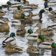 Stock Photo: Large group of ducks swimming in river