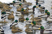 Large group of ducks swimming in river — Stock Photo