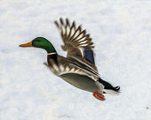 Oil painting stylized photo of male duck in flight — Stock Photo
